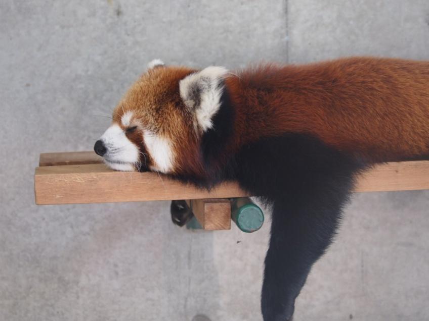 画像:暑さでうだるレッサーパンダ