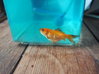 画像:腎腫大症にかかった稚魚金魚