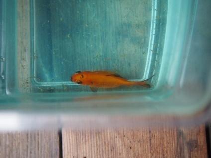 画像:腎腫大症にかかった金魚を上から見た