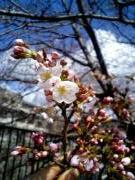 疏水沿いに咲く桜
