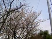 桜も見ごろ