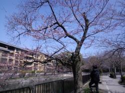 ちょい咲き桜